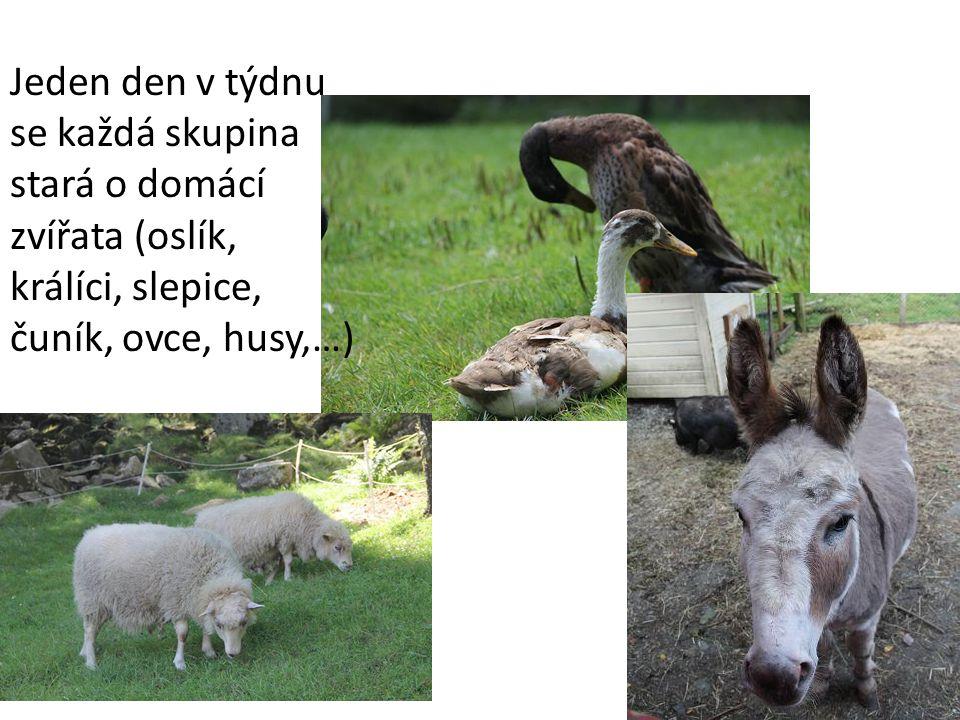 Jeden den v týdnu se každá skupina stará o domácí zvířata (oslík, králíci, slepice, čuník, ovce, husy,…)