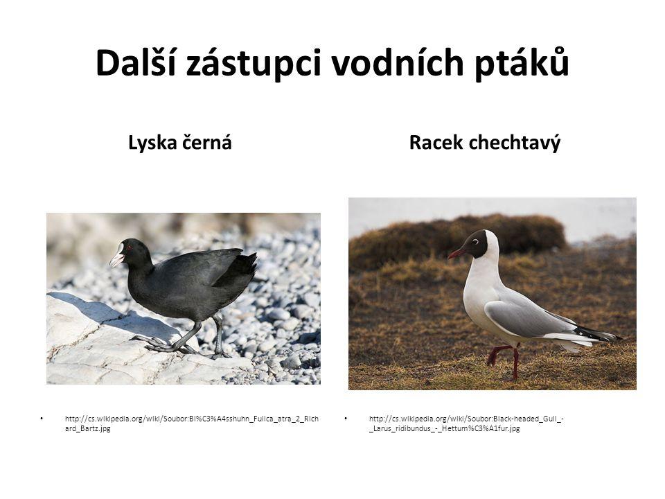 Další zástupci vodních ptáků Lyska černá http://cs.wikipedia.org/wiki/Soubor:Bl%C3%A4sshuhn_Fulica_atra_2_Rich ard_Bartz.jpg Racek chechtavý http://cs.wikipedia.org/wiki/Soubor:Black-headed_Gull_- _Larus_ridibundus_-_Hettum%C3%A1fur.jpg