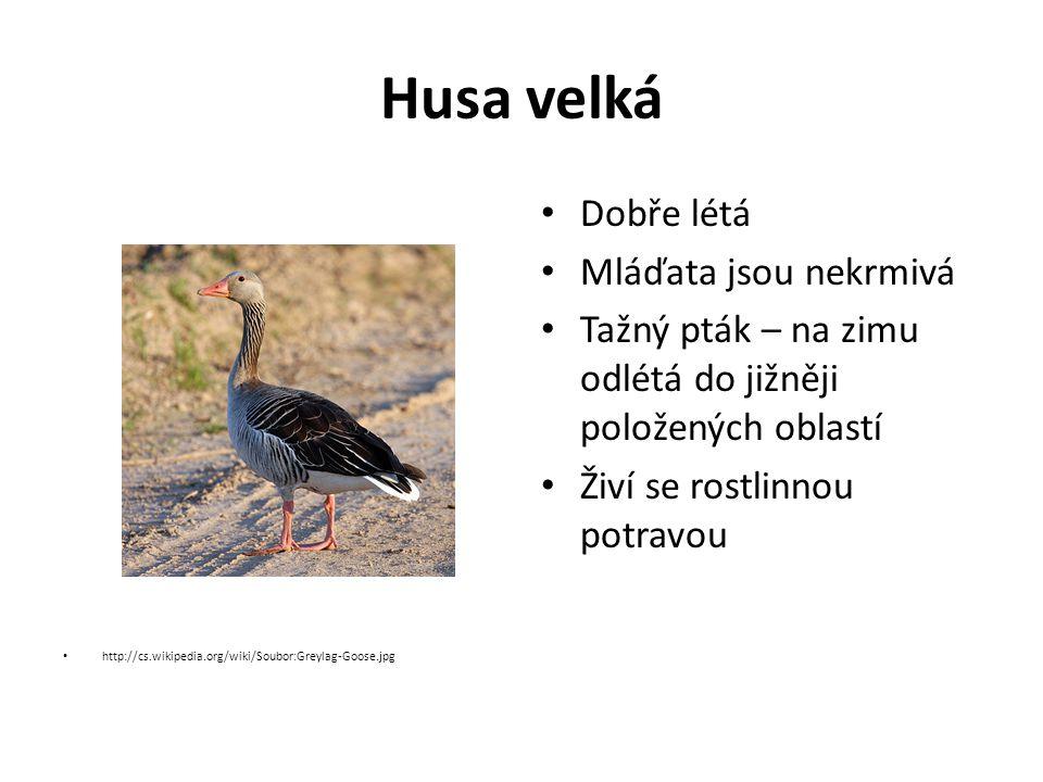 Husa velká http://cs.wikipedia.org/wiki/Soubor:Greylag-Goose.jpg Dobře létá Mláďata jsou nekrmivá Tažný pták – na zimu odlétá do jižněji položených oblastí Živí se rostlinnou potravou