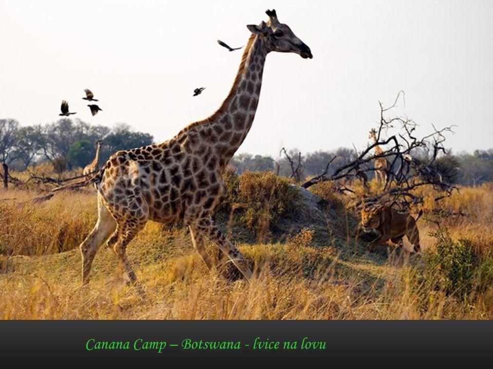 Dvě žirafy a strom – Masai Mara - Keňa