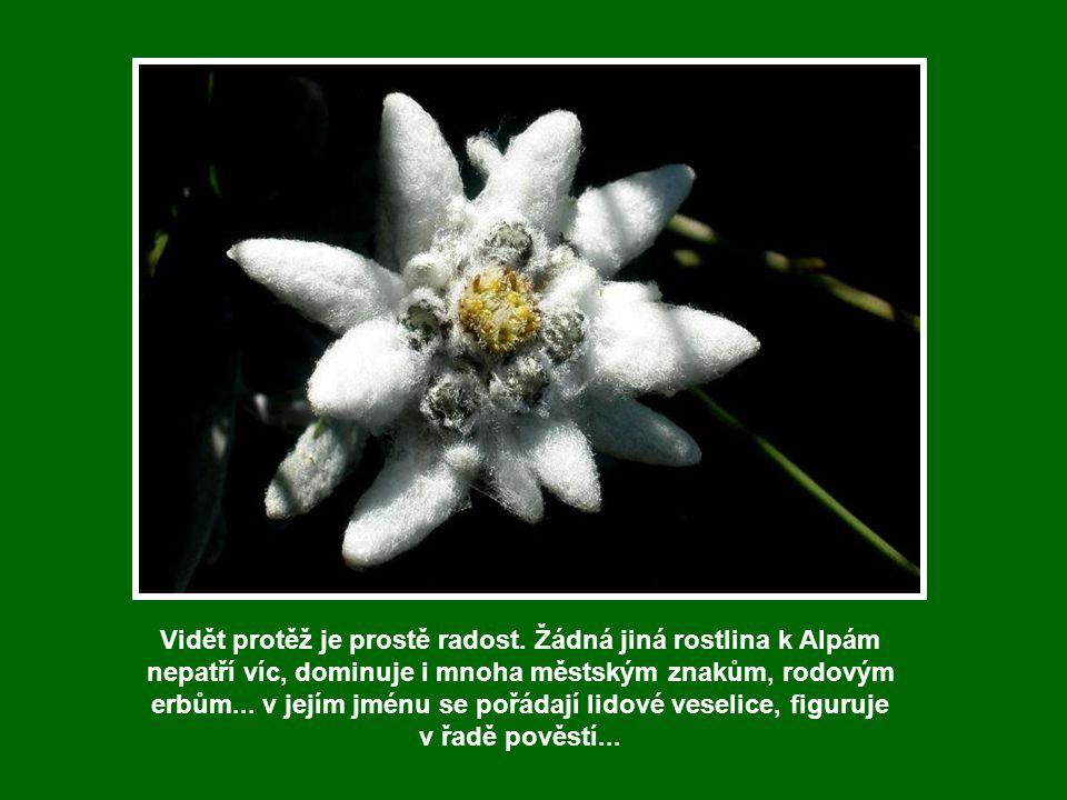 Protěž alpská - Plesnivec alpský Leontopodium alpinum jedna z nejznámějších horských květin. Německý název Edelweiß pochází z německých slov edel (nob