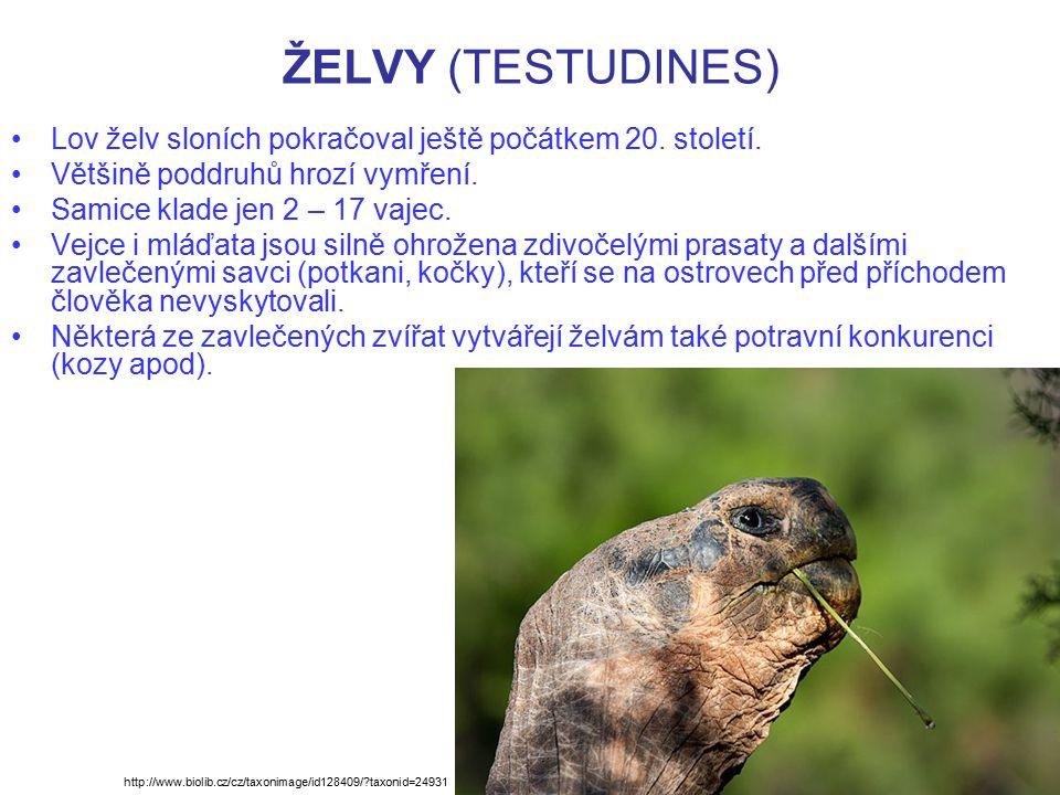 ŽELVY (TESTUDINES) Lov želv sloních pokračoval ještě počátkem 20. století. Většině poddruhů hrozí vymření. Samice klade jen 2 – 17 vajec. Vejce i mláď