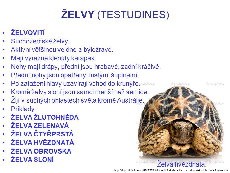 ŽELVY (TESTUDINES) ŽELVOVITÍ Suchozemské želvy. Aktivní většinou ve dne a býložravé. Mají výrazně klenutý karapax. Nohy mají drápy, přední jsou hrabav
