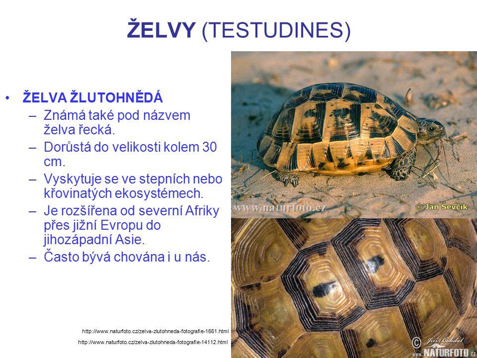 ŽELVY (TESTUDINES) ŽELVA ŽLUTOHNĚDÁ –Známá také pod názvem želva řecká. –Dorůstá do velikosti kolem 30 cm. –Vyskytuje se ve stepních nebo křovinatých