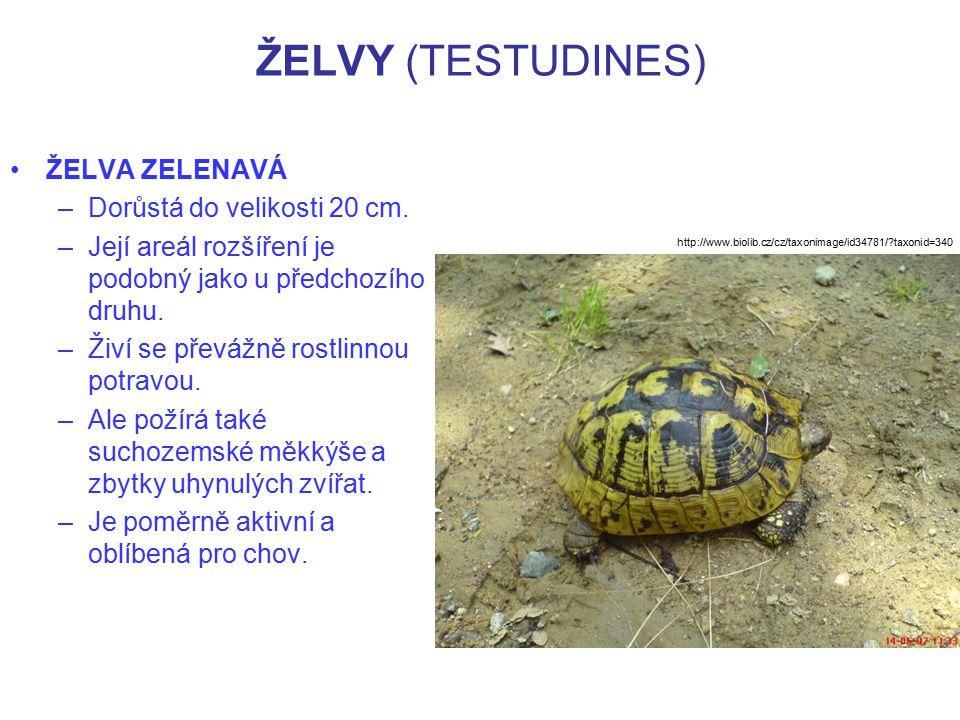 ŽELVY (TESTUDINES) ŽELVA ZELENAVÁ –Dorůstá do velikosti 20 cm. –Její areál rozšíření je podobný jako u předchozího druhu. –Živí se převážně rostlinnou
