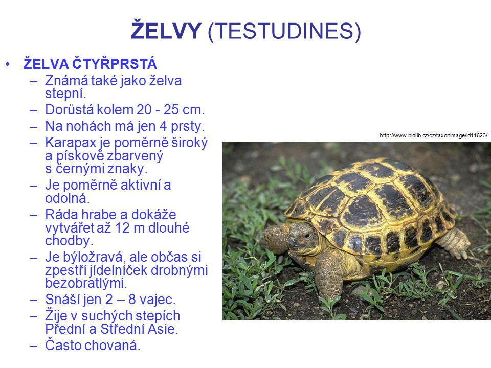 ŽELVY (TESTUDINES) ŽELVA ČTYŘPRSTÁ –Známá také jako želva stepní. –Dorůstá kolem 20 - 25 cm. –Na nohách má jen 4 prsty. –Karapax je poměrně široký a p