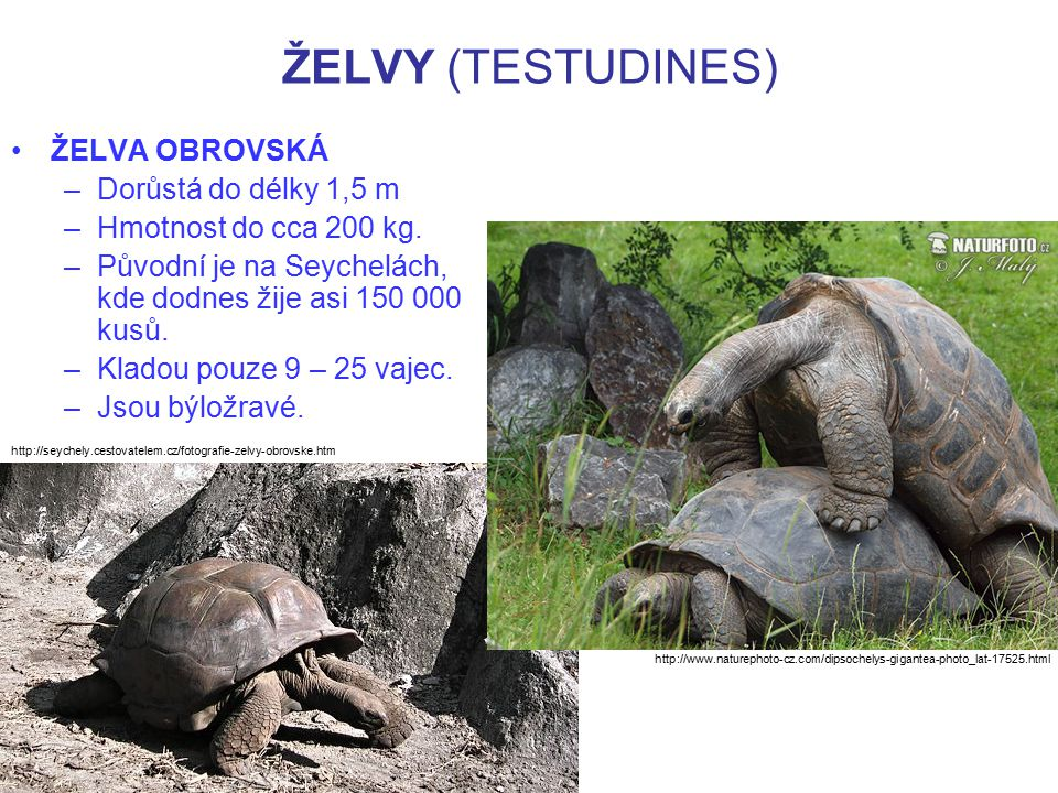 ŽELVY (TESTUDINES) ŽELVA OBROVSKÁ –Dorůstá do délky 1,5 m –Hmotnost do cca 200 kg. –Původní je na Seychelách, kde dodnes žije asi 150 000 kusů. –Klado