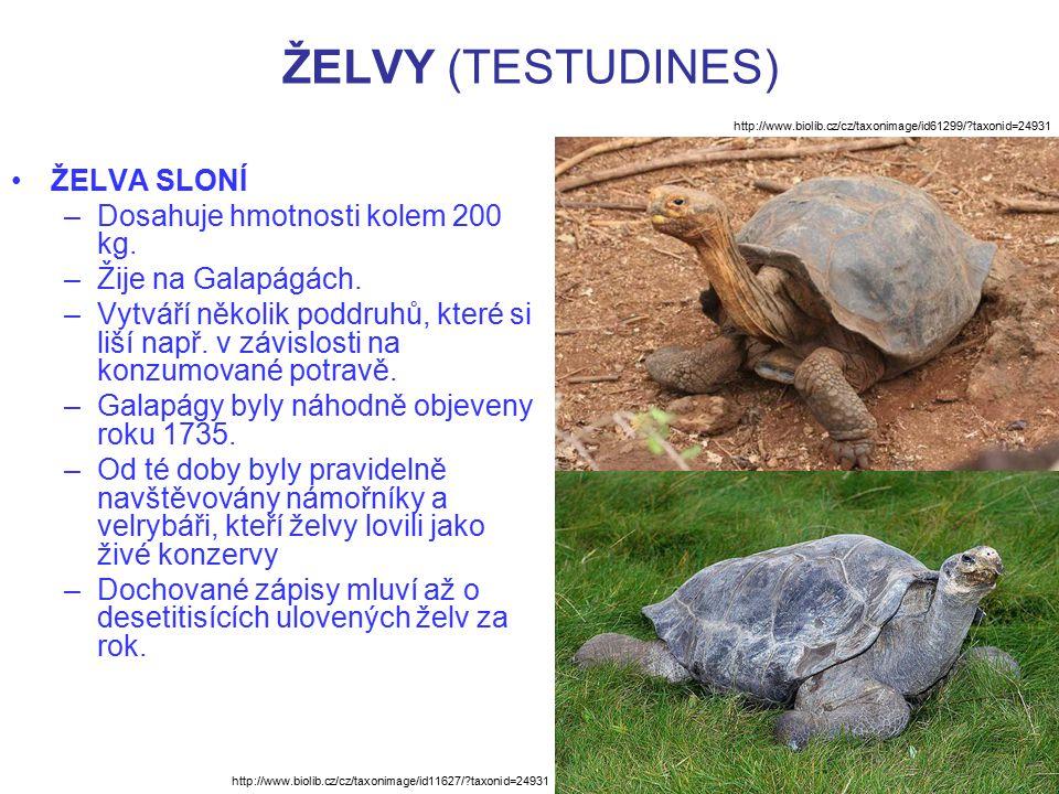 ŽELVY (TESTUDINES) ŽELVA SLONÍ –Dosahuje hmotnosti kolem 200 kg. –Žije na Galapágách. –Vytváří několik poddruhů, které si liší např. v závislosti na k