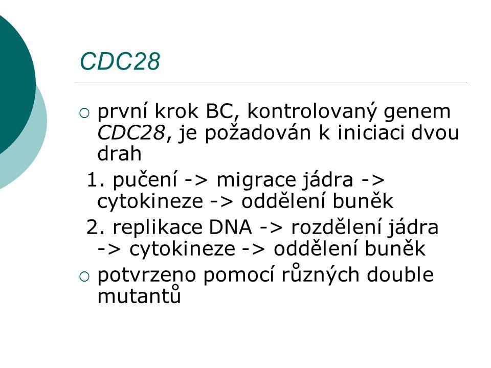 CDC28  první krok BC, kontrolovaný genem CDC28, je požadován k iniciaci dvou drah 1.