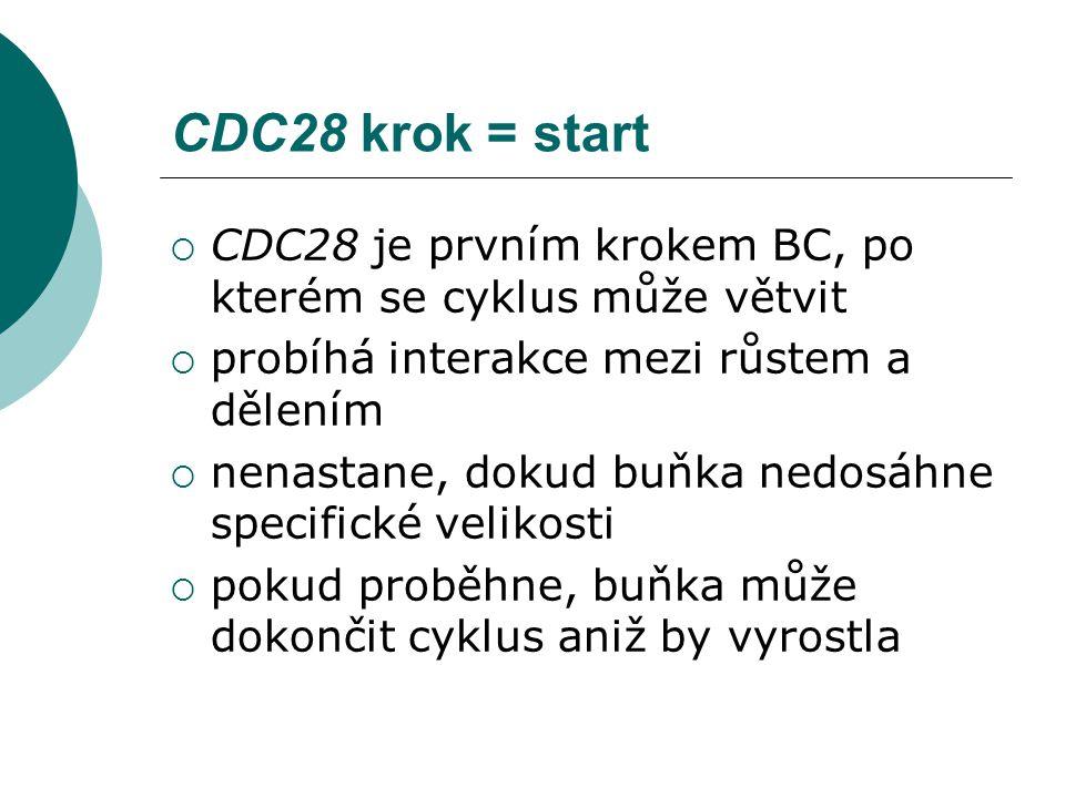 CDC28 krok = start  CDC28 je prvním krokem BC, po kterém se cyklus může větvit  probíhá interakce mezi růstem a dělením  nenastane, dokud buňka nedosáhne specifické velikosti  pokud proběhne, buňka může dokončit cyklus aniž by vyrostla