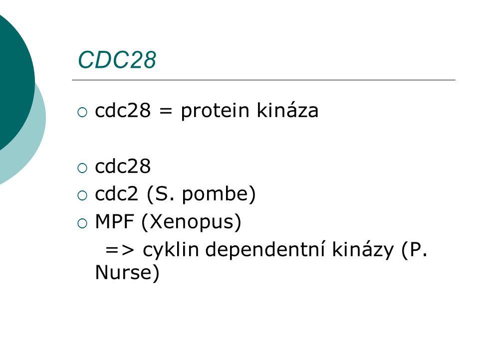 CDC28  cdc28 = protein kináza  cdc28  cdc2 (S.