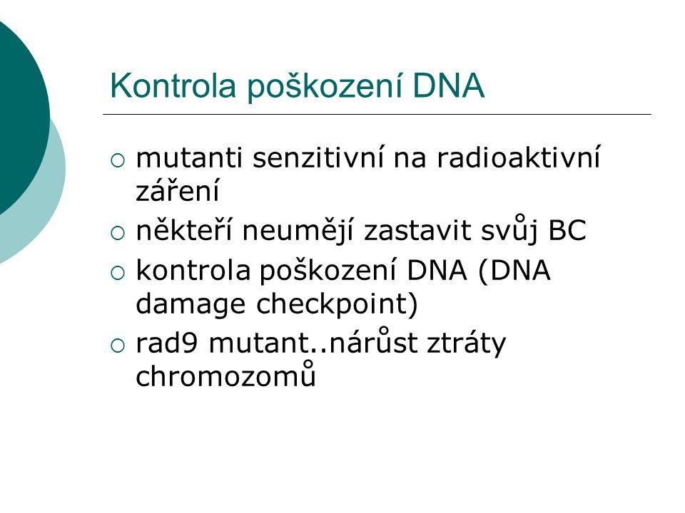 Kontrola poškození DNA  mutanti senzitivní na radioaktivní záření  někteří neumějí zastavit svůj BC  kontrola poškození DNA (DNA damage checkpoint)  rad9 mutant..nárůst ztráty chromozomů