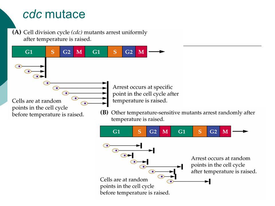 Ztráta přesnosti dělení  rakovinné buňky se nejen dělí když nemají, ale mají i o dost horší přesnost dělení než normální buňky  chromozomové aberace i ztráty celých chromozomů  teplotně senzitivní mutanti rostoucí při maximální povolené teplotě  mutace v zásadním bodě BC může způsobovat genetickou nestabilitu nádorových buněk