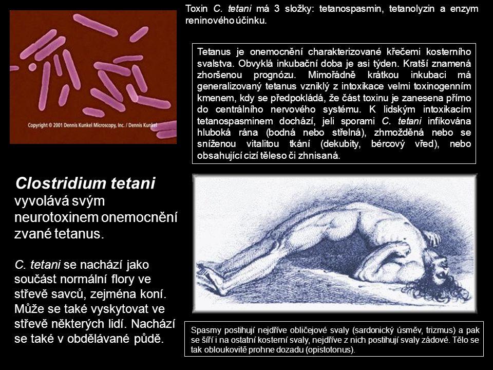 Clostridium tetani vyvolává svým neurotoxinem onemocnění zvané tetanus. C. tetani se nachází jako součást normální flory ve střevě savců, zejména koní