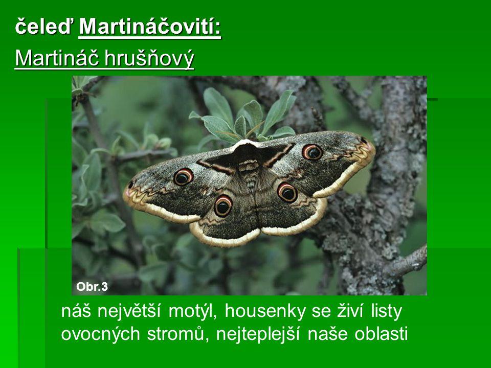 čeleď Martináčovití: Martináč hrušňový náš největší motýl, housenky se živí listy ovocných stromů, nejteplejší naše oblasti Obr.3