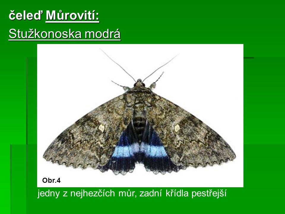 čeleď Můrovití: Stužkonoska modrá jedny z nejhezčích můr, zadní křídla pestřejší Obr.4