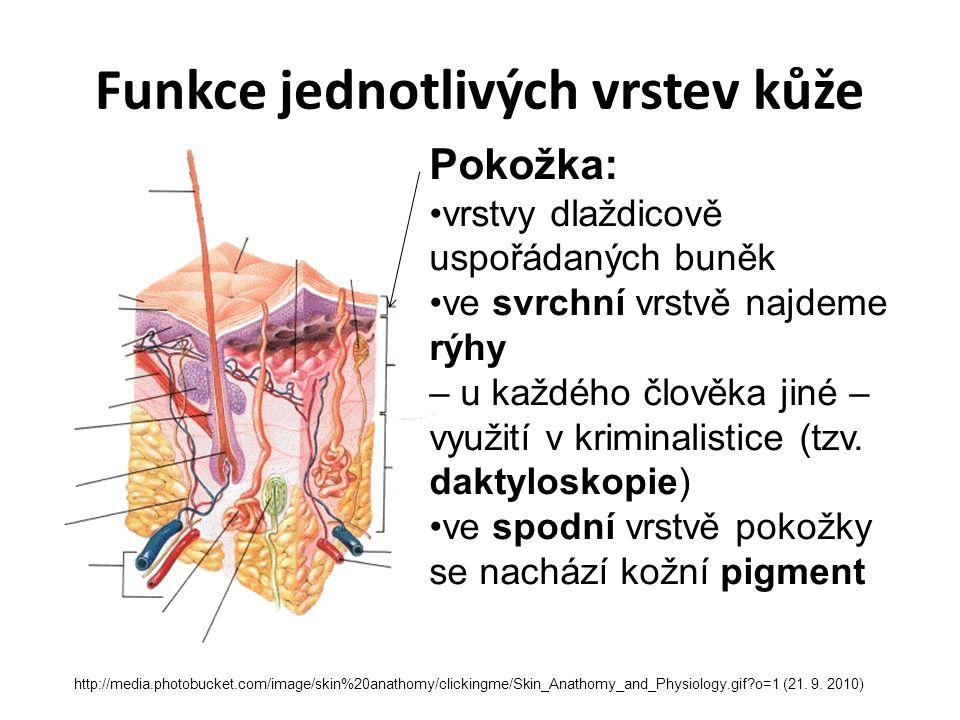 http://media.photobucket.com/image/skin%20anathomy/clickingme/Skin_Anathomy_and_Physiology.gif?o=1 (21. 9. 2010) Funkce jednotlivých vrstev kůže Pokož