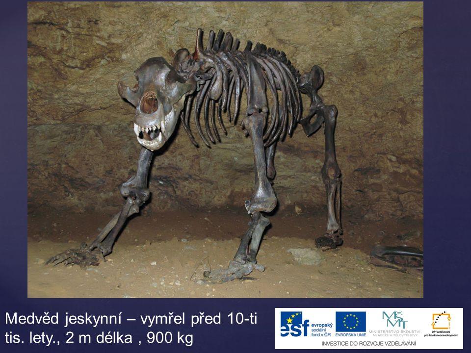Medvěd jeskynní – vymřel před 10-ti tis. lety., 2 m délka, 900 kg