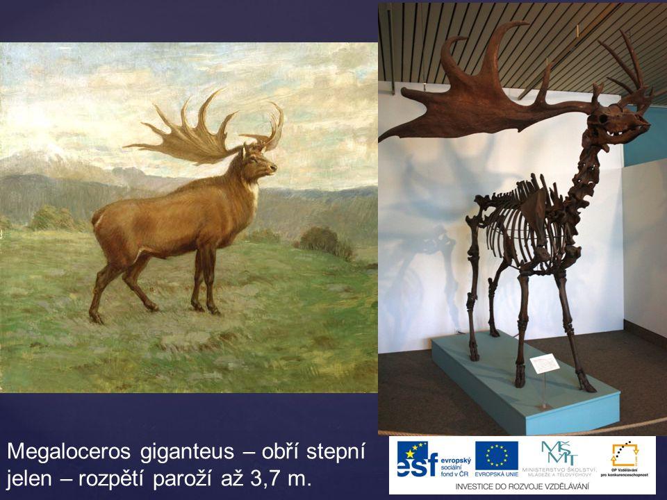 Megaloceros giganteus – obří stepní jelen – rozpětí paroží až 3,7 m.