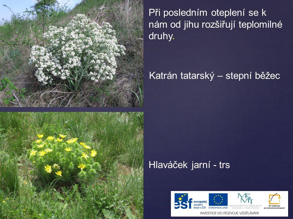 Při posledním oteplení se k nám od jihu rozšiřují teplomilné druhy. Katrán tatarský – stepní běžec Hlaváček jarní - trs