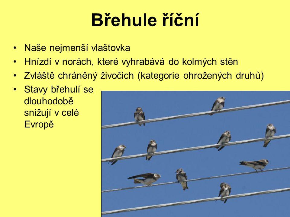 Břehule říční Naše nejmenší vlaštovka Hnízdí v norách, které vyhrabává do kolmých stěn Zvláště chráněný živočich (kategorie ohrožených druhů) Stavy břehulí se dlouhodobě snižují v celé Evropě