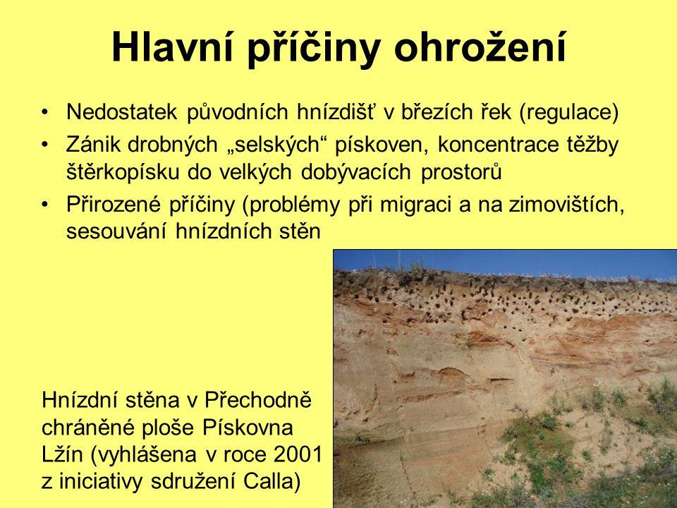 """Hlavní příčiny ohrožení Nedostatek původních hnízdišť v březích řek (regulace) Zánik drobných """"selských pískoven, koncentrace těžby štěrkopísku do velkých dobývacích prostorů Přirozené příčiny (problémy při migraci a na zimovištích, sesouvání hnízdních stěn Hnízdní stěna v Přechodně chráněné ploše Pískovna Lžín (vyhlášena v roce 2001 z iniciativy sdružení Calla)"""