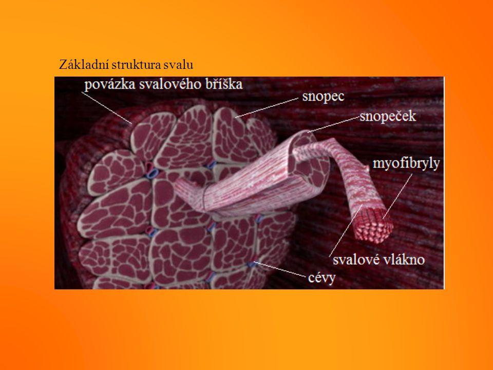 Základní struktura svalu