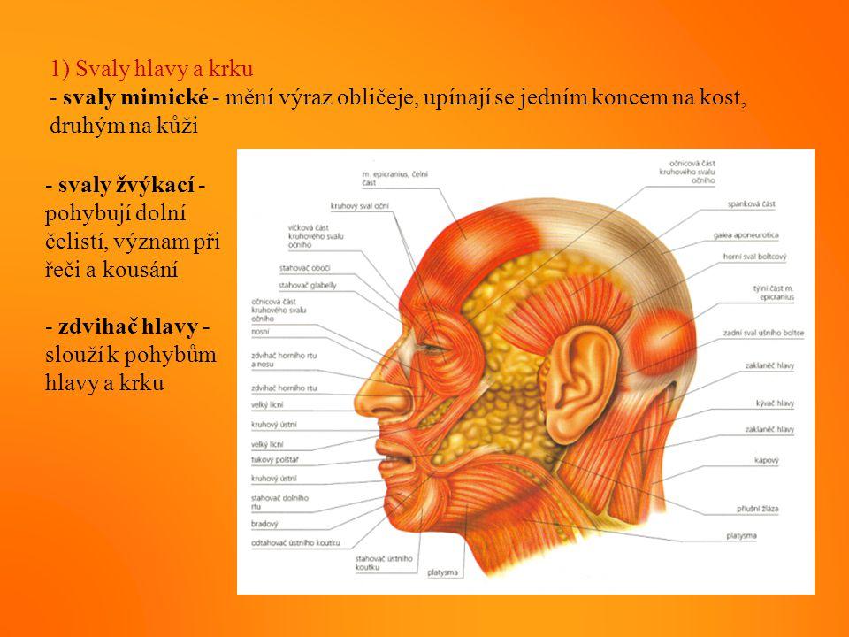 1) Svaly hlavy a krku - svaly mimické - mění výraz obličeje, upínají se jedním koncem na kost, druhým na kůži - svaly žvýkací - pohybují dolní čelistí