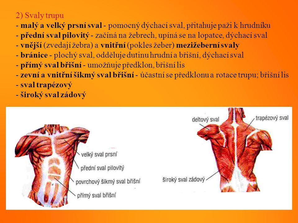 2) Svaly trupu - malý a velký prsní sval - pomocný dýchací sval, přitahuje paži k hrudníku - přední sval pilovitý - začíná na žebrech, upíná se na lop
