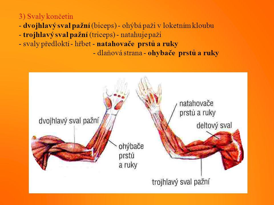 3) Svaly končetin - dvojhlavý sval pažní (biceps) - ohýbá paži v loketním kloubu - trojhlavý sval pažní (triceps) - natahuje paži - svaly předloktí -