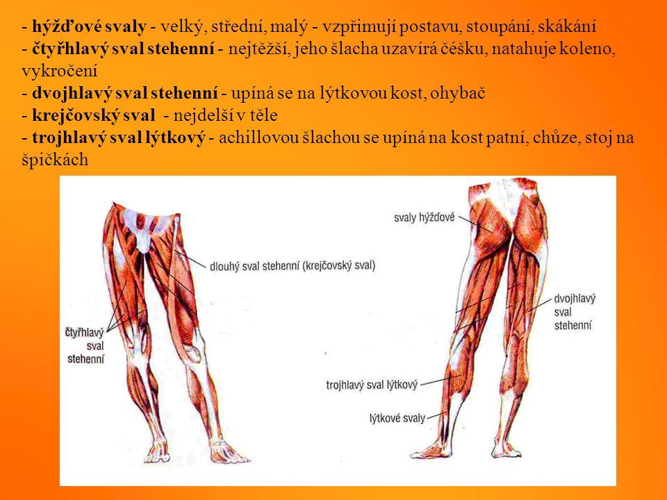 - hýžďové svaly - velký, střední, malý - vzpřimují postavu, stoupání, skákání - čtyřhlavý sval stehenní - nejtěžší, jeho šlacha uzavírá čéšku, natahuj