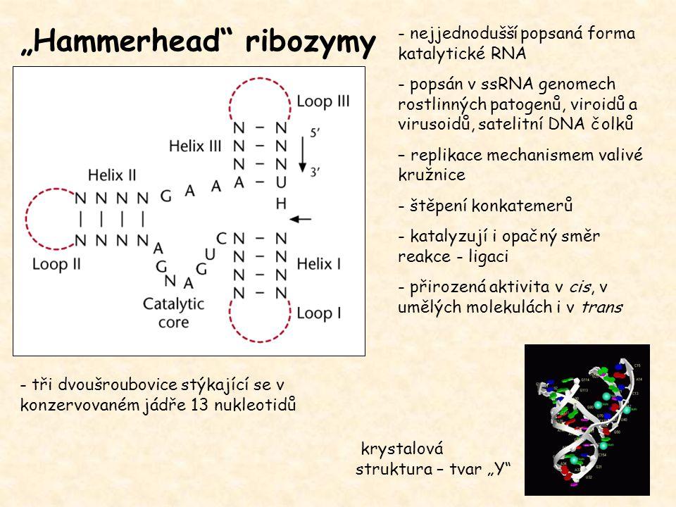 """""""Hammerhead"""" ribozymy - nejjednodušší popsaná forma katalytické RNA - popsán v ssRNA genomech rostlinných patogenů, viroidů a virusoidů, satelitní DNA"""