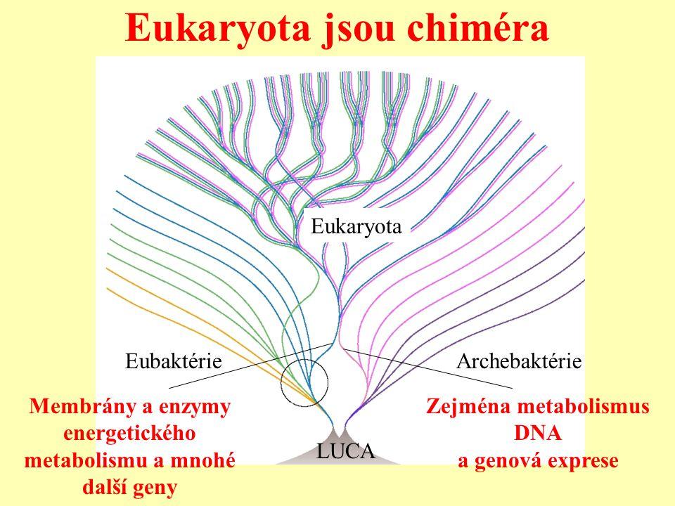 LUCA EubaktérieArchebaktérie Eukaryota Membrány a enzymy energetického metabolismu a mnohé další geny Zejména metabolismus DNA a genová exprese Eukary