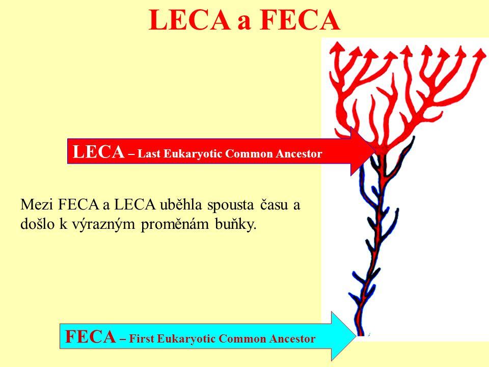 LECA a FECA FECA – First Eukaryotic Common Ancestor LECA – Last Eukaryotic Common Ancestor Mezi FECA a LECA uběhla spousta času a došlo k výrazným pro