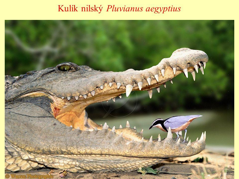 Kulík nilský Pluvianus aegyptius