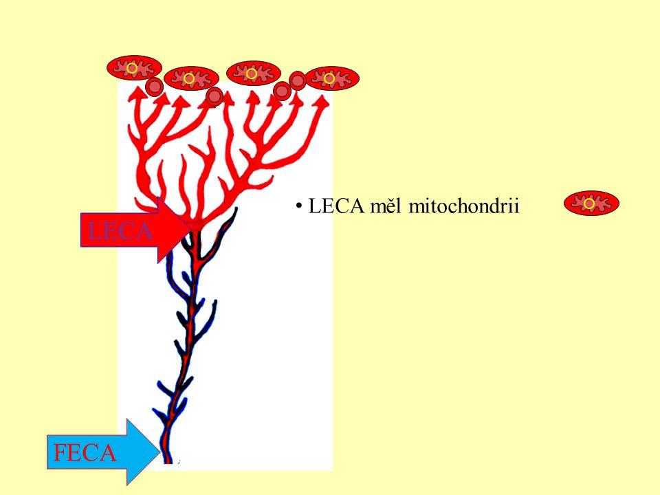 LECA měl mitochondrii LECA FECA
