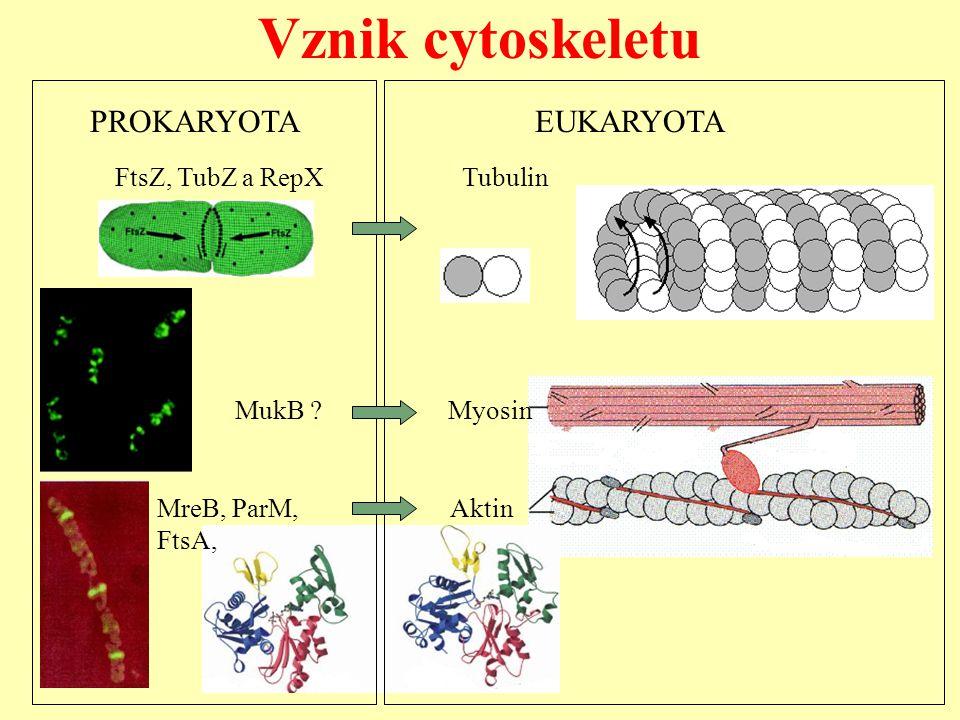 Vznik cytoskeletu MreB, ParM, Aktin FtsA, FtsZ, TubZ a RepX Tubulin MukB ? Myosin PROKARYOTA EUKARYOTA