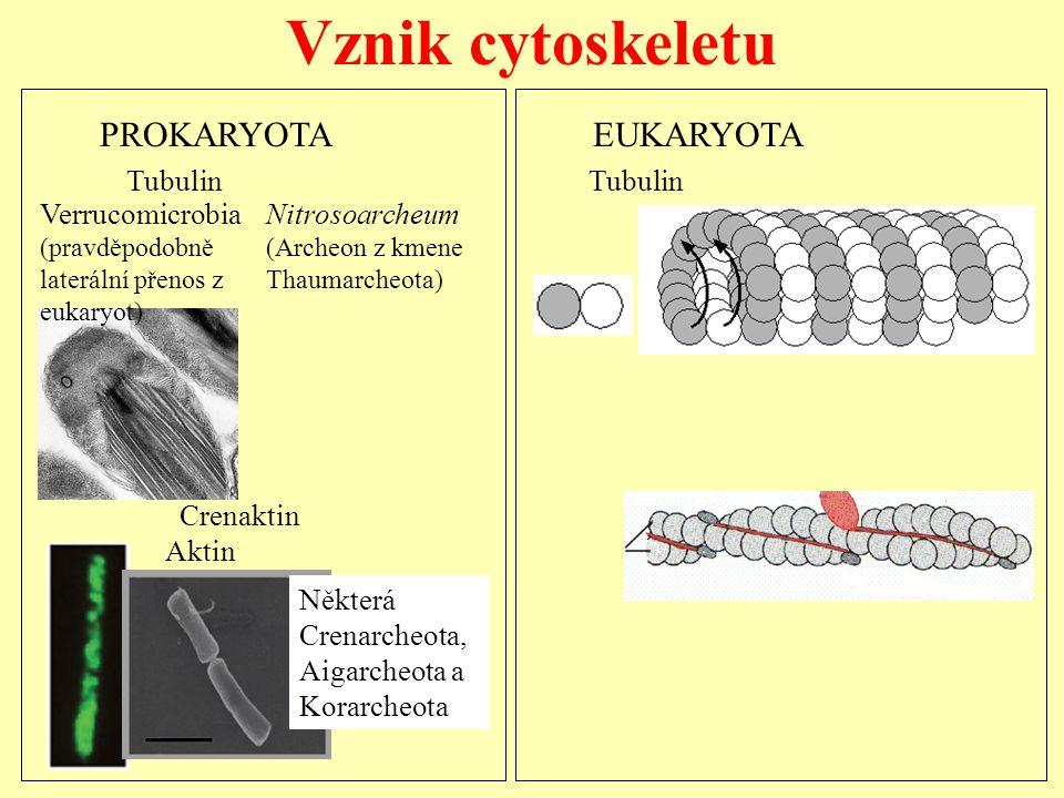 Vznik cytoskeletu Crenaktin Aktin Tubulin Tubulin PROKARYOTA EUKARYOTA Verrucomicrobia (pravděpodobně laterální přenos z eukaryot) Nitrosoarcheum (Arc