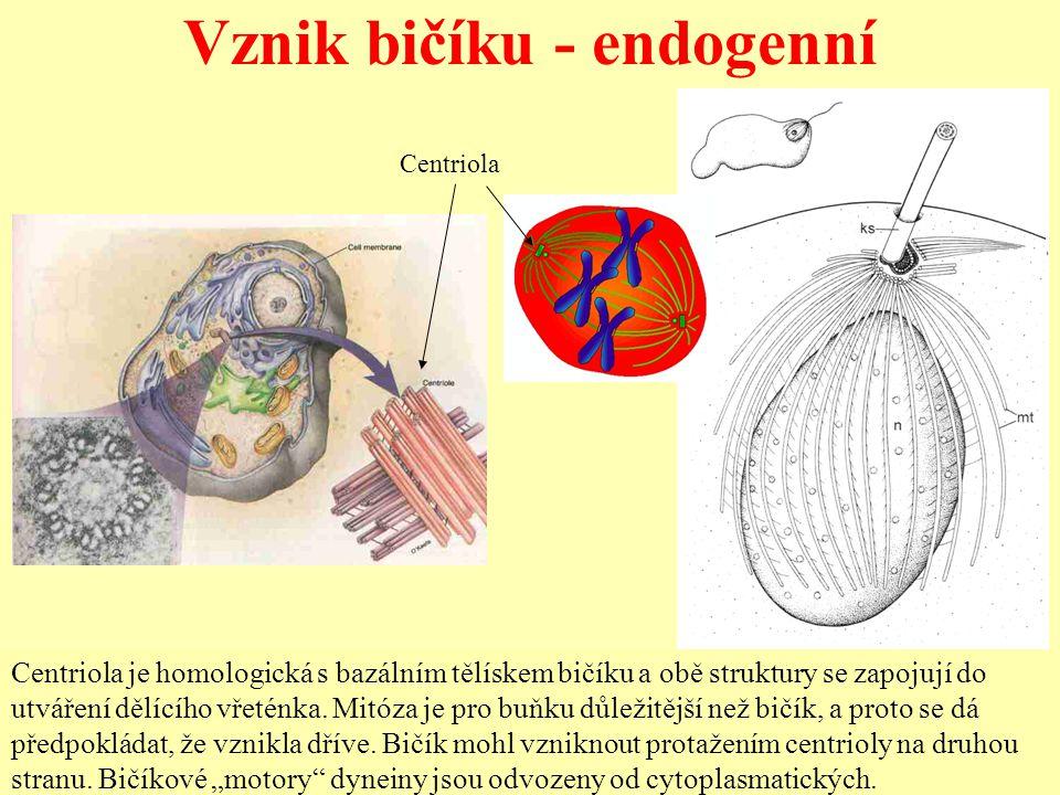 Vznik bičíku - endogenní Centriola je homologická s bazálním tělískem bičíku a obě struktury se zapojují do utváření dělícího vřeténka. Mitóza je pro