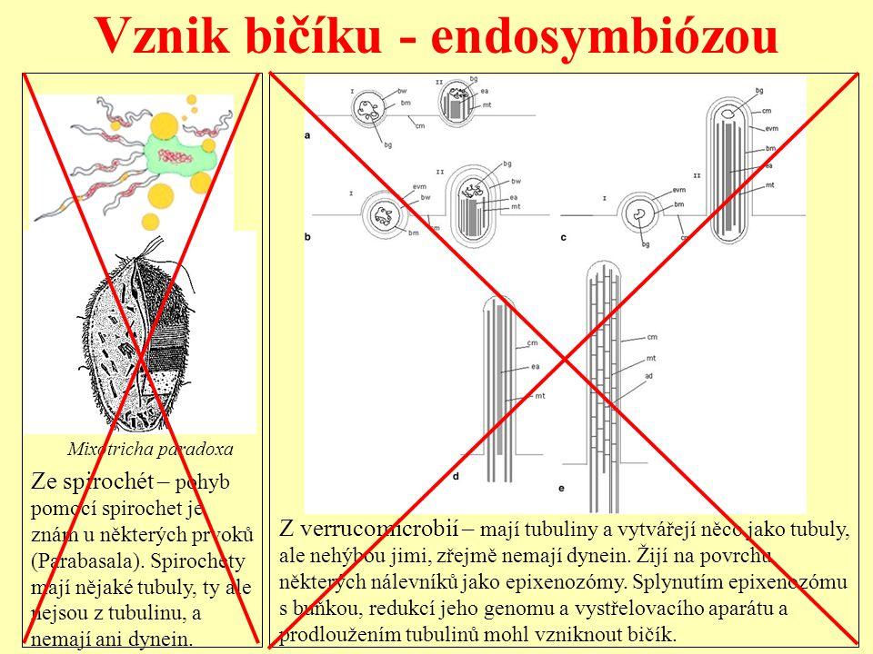Vznik bičíku - endosymbiózou Ze spirochét – pohyb pomocí spirochet je znám u některých prvoků (Parabasala). Spirochety mají nějaké tubuly, ty ale nejs