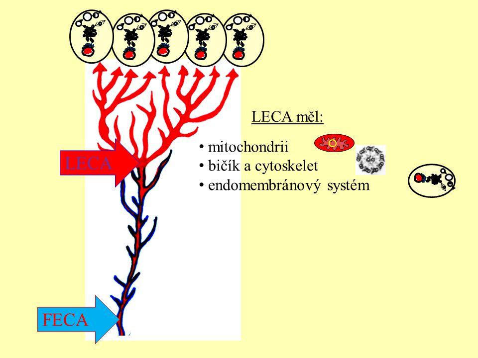 mitochondrii bičík a cytoskelet endomembránový systém LECA měl: FECA LECA