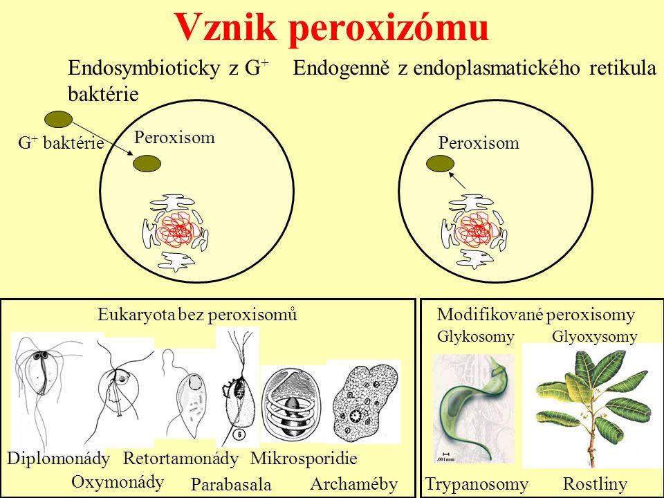 Vznik peroxizómu G + baktérie Endosymbioticky z G + baktérie Endogenně z endoplasmatického retikula Peroxisom Archaméby Modifikované peroxisomy Glykos