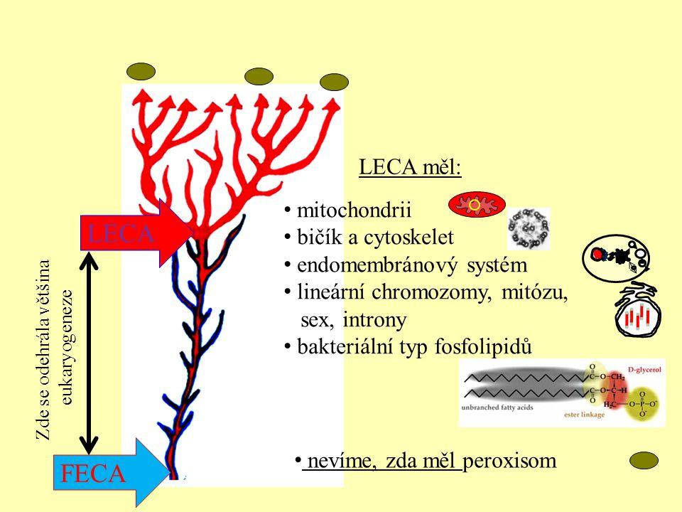 nevíme, zda měl peroxisom mitochondrii bičík a cytoskelet endomembránový systém lineární chromozomy, mitózu, sex, introny bakteriální typ fosfolipidů