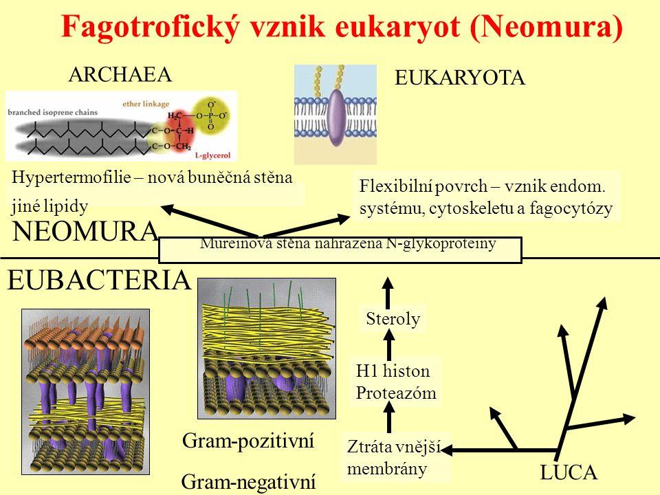 Fagotrofický vznik eukaryot (Neomura) NEOMURA Hypertermofilie – nová buněčná stěna jiné lipidy ARCHAEA Flexibilní povrch – vznik endom. systému, cytos