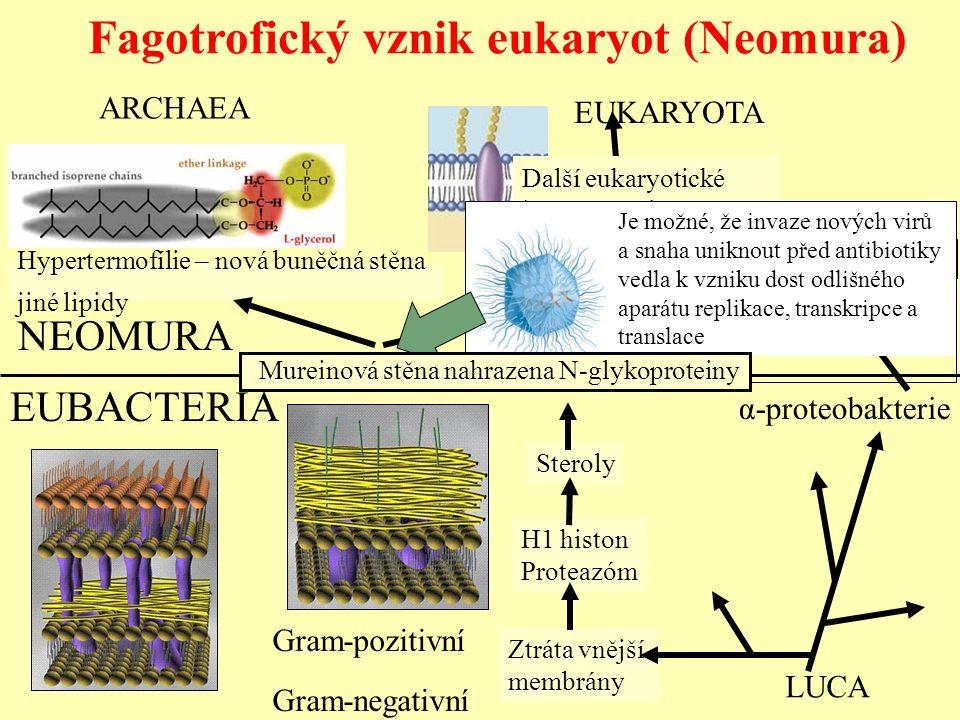 Fagotrofický vznik eukaryot (Neomura) NEOMURA Hypertermofílie – nová buněčná stěna jiné lipidy ARCHAEA Flexibilní povrch – vznik endom. systému, cytos