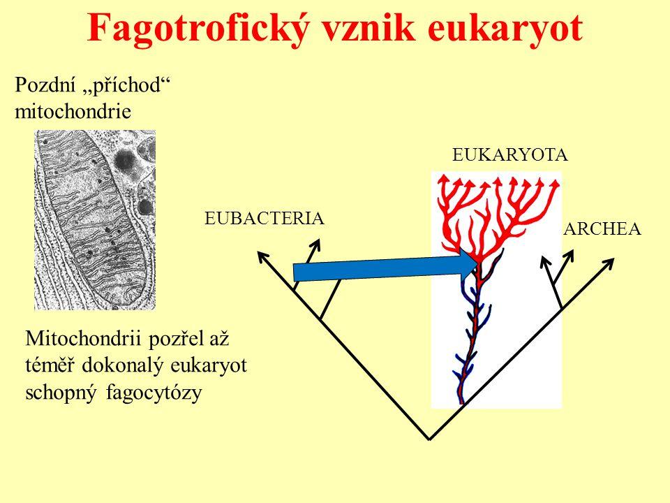 """Fagotrofický vznik eukaryot Pozdní """"příchod"""" mitochondrie EUBACTERIA ARCHEA EUKARYOTA Mitochondrii pozřel až téměř dokonalý eukaryot schopný fagocytóz"""