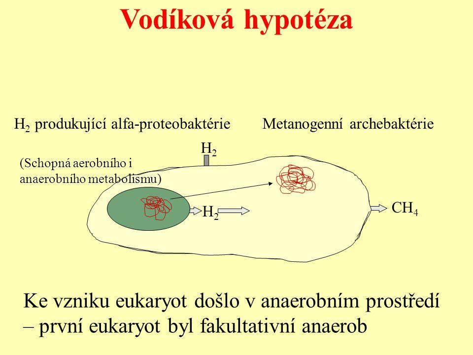Vodíková hypotéza H 2 produkující alfa-proteobaktérie Metanogenní archebaktérie CH 4 H2H2 H2H2 (Schopná aerobního i anaerobního metabolismu) Ke vzniku