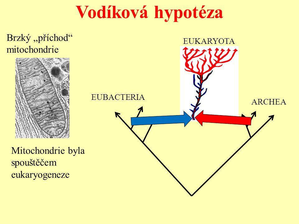 """Vodíková hypotéza Brzký """"příchod"""" mitochondrie EUBACTERIA ARCHEA EUKARYOTA Mitochondrie byla spouštěčem eukaryogeneze"""