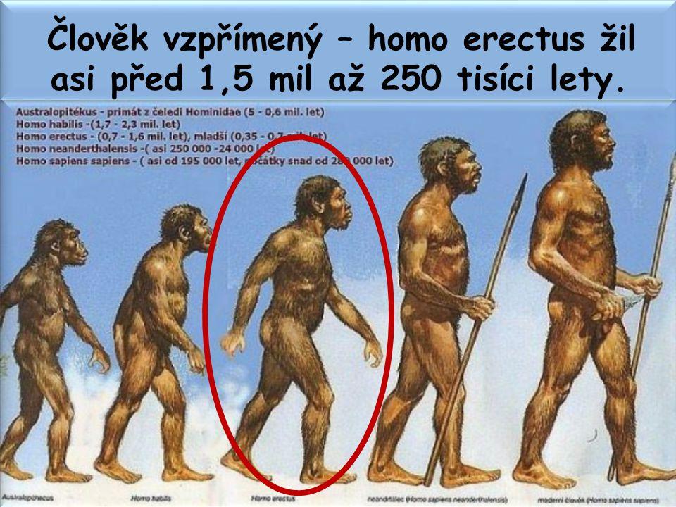 Člověk vzpřímený – homo erectus žil asi před 1,5 mil až 250 tisíci lety.