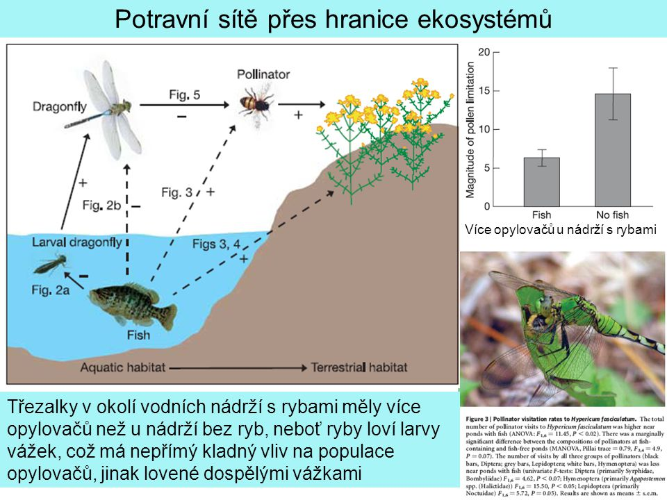 Potravní sítě přes hranice ekosystémů Třezalky v okolí vodních nádrží s rybami měly více opylovačů než u nádrží bez ryb, neboť ryby loví larvy vážek, což má nepřímý kladný vliv na populace opylovačů, jinak lovené dospělými vážkami Více opylovačů u nádrží s rybami